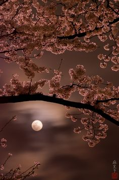 Cherry blossoms and the moon. Photograph by Mamiko Irie