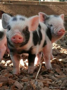 Miniature Pet Pigs – Why Are They Such Popular Pets? – Pets and Animals Micro Piglets, Cute Piglets, Cute Baby Animals, Animals And Pets, Funny Animals, Farm Animals, Baby Pigs, Pet Pigs, Teacup Pigs