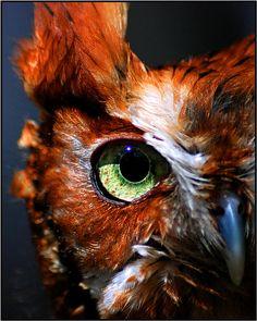 "Owl Eye by Melissa Papaj, via 500px; ""A macro of a red morph screech owl eye""~captive owl"