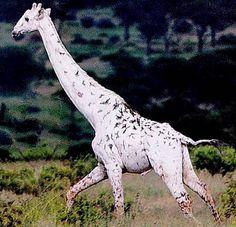 Albino Animals - Giraffe so cool