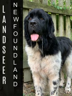 The Landseer Newfoundland is a white Newf with black markings. Some Landseers will have ticking, which is black spots, on their legs and other areas of their bodies. Brown Newfoundland Dog, Every Dog Breed, Group Of Dogs, Purebred Dogs, Aggressive Dog, Wild Dogs, Dog Behavior, Exotic Pets, Dog Training