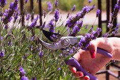 Lavendel: Alles zu Sorten, Anbau & Pflege - Plantura Lavender can be found in almost every garden, but it does not bloom beautifully everywhere. One way to achieve the bloom is to cut and fertilize pr Garden Types, Garden Images, Real Plants, Lavandula Angustifolia, Growing Herbs, Medicinal Herbs, Pruning Shears, Diy Garden Decor, Herb Garden