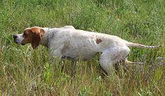 english pointer dog photo | English pointer (foto: Zuzana Nedavaąková)