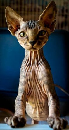 A different beauty by Jeremiah Mench Sphynx cat.A different beauty by Jeremiah Mench Pretty Cats, Beautiful Cats, Animals Beautiful, Cute Animals, Kittens Cutest, Cats And Kittens, Animal Gato, Sphinx Cat, Rex Cat