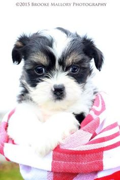Petango.com – Meet Regina George, a 1 month 17 days Lhasa Apso / Mix available for adoption in REDMOND, WA @ motleyzoo.org