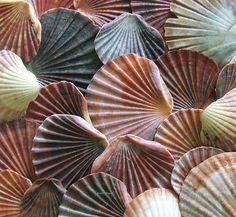 scallops, beaches, gift, sea shell, colors, sell seashel, flats, seashells, art activities