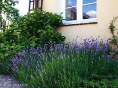 Lawenda w ogrodzie: kiedy i jak przycinać lawendę?