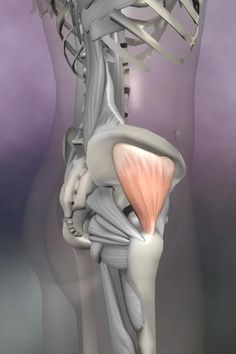 The gluteus medius assists abduction of the hip, and the anterior fibers internally rotate the femur. It's also often involved in lower back pain since trigger points in this muscle refer to the sacru