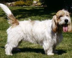 1000 images about dogs hounds on pinterest the breed - Petit basset griffon vendeen breeders toulon ...