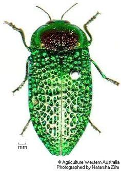 Stigmodera gratiosa (jewel beetle)