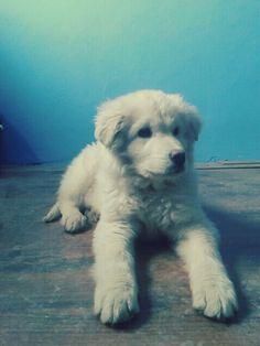 →Slovak chuvach puppy ♥♥