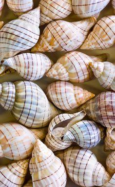Banded Tulip shells
