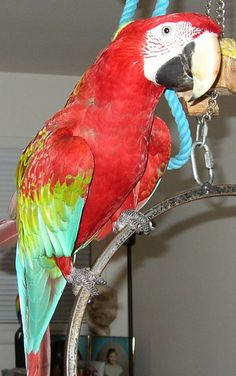 Our first parrot is our Diva parrot and Greenwing macaw Roxanne. She was 2 1/2 years old when we adopted her in 1999.