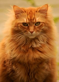 New Sigma 150 to 500 Test this is a test. Pretty Cats, Beautiful Cats, Cute Cats And Kittens, Cool Cats, Fancy Cats, Orange Tabby Cats, Curious Cat, Ginger Cats, Warrior Cats