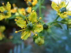 Yellow Ruta Graveolens Herb Seeds NON-GMO 100 Seeds by Greenworld1 Ruta Graveolens, Herb Seeds, Herbs, Yellow, Handmade Gifts, Plants, Etsy, Kid Craft Gifts, Craft Gifts