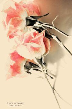 pink roses peach flowers fine art by judeMcConkeyPhotos on Etsy, $35.00
