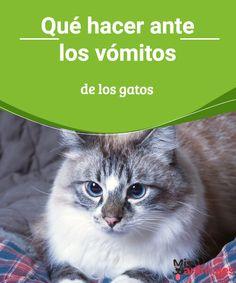 Qué hacer ante los vómitos de los gatos  Los vómitos de los gatos pueden estar mostrando una enfermedad grave o un problema que se puede agravar. Mira en Mis Animales qué puede ser. #vómito #felinos #alimentación #problemas