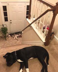 Siesta   #pitbullmix #siberianhusky #husky #siesta #nap #sleeping #resting #dogs #puppies