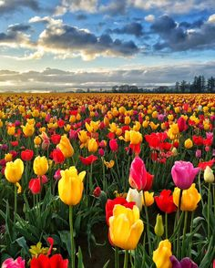 """A vibrant field of tulips at Wooden Shoe Tulip Farm, Oregon - Photo by Claudio Bezerra (@ cbezerraphotos on IG)"" Amazing Places On Earth, Wonderful Places, Beautiful Places, Beautiful Flowers, Beautiful Pictures, Tulip Festival, Tulip Fields, Field Of Tulips, Felder"