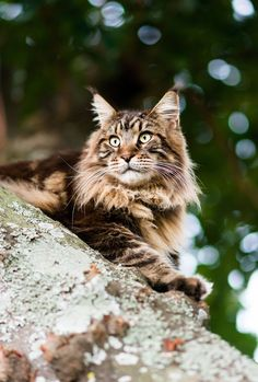 Maine Coon (by marccrowther)