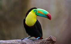 Tuokong (scientific name: Toucans) also known as the toucan is a toucan bird suborder bird species, 6 genera and 34 kinds. Description from 10wallpaper.com. I searched for this on bing.com/images