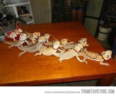 @Liz Mester Wetjen !!!! Omg you need to get a couple more bearded dragons and do this!!!