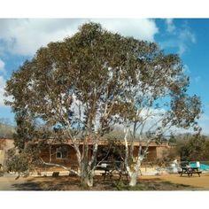 Eucalyptus p. s. niphophila