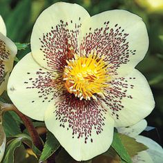 Winter Jewels® Golden Sunrise Lenten Rose