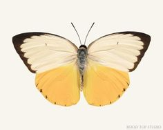 Orange Migrant Butterfly Print by Allison Trentelman | rockytopstudio.com