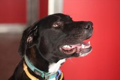 Hey, Ne-Yo here! Action is my middle name! I'm an energetic and loving dog who is still very much a puppy at heart. I love to play with toys, especially squeaky ones. I'd suit a home without children and if you have a pet I'd love to meet them first! Maybe you can adopt me with one of my mates this October for Black Magic? Two black pets for one price. Come and meet me at the Animal Care Campus, Brisbane! My adoption price is $315 #adoptapet #dog #blackmagic #rspcaqld