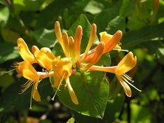 Das Gold-Geißblatt (Lonicera x tellmaniana) zählt zu den schönsten Geißblatt-Arten, duftet aber kaum