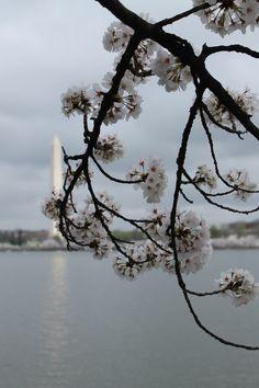 Cherry Blossoms & Washington Monument. Washington DC, March 2012