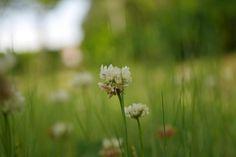 #シロツメクサ #新緑 #macro #flowerslovers #florals #flower #flowers #flowerstagram #flowerphotography #nature #naturelovers #naturephotography #macrolove #flowergram #flowerlove #flower_daily #flowerpower #マクロ撮影 #花 #Instagramjapan #instagrammer #macro_freaks #macrophotography#写真好きな人と繋がりたい #写真を撮ってる人と繋がりたい http://gelinshop.com/ipost/1519323245928910502/?code=BUVuHFElg6m