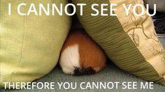 Classic guinea pig logic