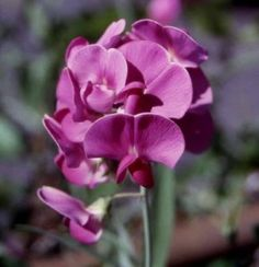 Google Image Result for http://www.mayweddingflowers.com/wp-content/uploads/2009/04/purple-sweetpeas1-290x300.jpg