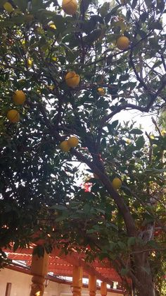 It's almost that time of year again...our #oranges are starting to look good!