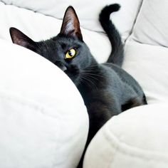 """All cats love a cushioned couch."" --Theocrites"