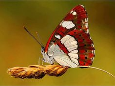 #pestcontrol Montreal #butterfly photo: Red and white butterfly