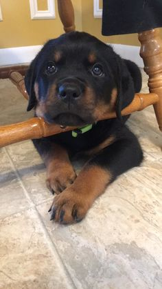 My new puppy from kaiserhaus Rottweilers in Brown City MI