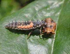 Ladybug larva, next to a pupa.