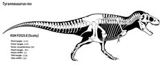 Scotty skeletal by thedinorocker on DeviantArt Scotty largest tyrannosaurus specimen Spinosaurus, Tyrannosaurus Rex, Large Animals, Jurassic Park, T Rex, Prehistoric, Predator, Geology, Fossil