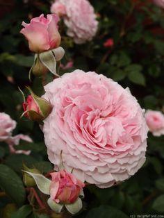 "Rose "" James Galway "" , (AUScrystal) , bred by David C. H. Austin (United Kingdom, 2000)"