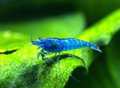 Dream Blue Velvet Shrimp