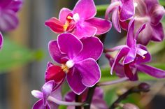 Miniature Phalaenopsis orchids are the perfect size for small spaces.