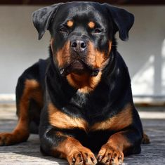Rottweiler Breed Information Guide: Quirks, Pictures, Personality & Facts Rottweiler Puppies For Sale, Rottweiler Funny, Rottweiler Training, Rottweiler Breed, West Highland Terrier, Australian Shepherds, German Shepherds, Scottish Terrier, Big Dogs