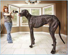 Одна из самых больших собак в мире