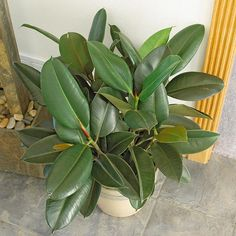 Rubber Tree  An old-fashioned classic, rubber tree gets its name from the sticky, milky sap it exudes if injured. It eventually grows into a large tree, but you can easily keep it shorter by pruning back long stems, causing it to branch into a multi-stemmed shrub