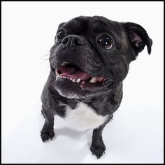 47 Best Pets Dogs Boston Terrierpugs Images Doggies Dogs