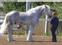 Shire - gelding Leapley Marksman