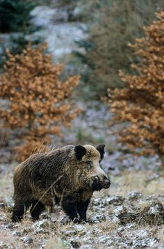 Wild Boar tusker searching Wild sows in the breeding season - (Wild Hog - European Boar) Animals And Pets, Cute Animals, Boar Hunting, Photo Animaliere, Wild Boar, Nature Adventure, Animal Totems, European History, Wildlife Art